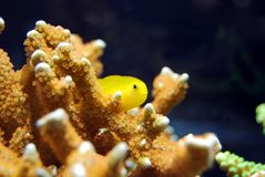 Fish, Coral, Red, Yellow Stock Images