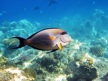Fish on the coral reef Stock Images
