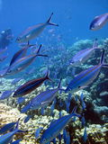 Fish and coral reef Royalty Free Stock Images