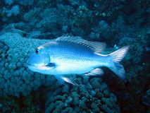 Fish and coral reef Royalty Free Stock Image