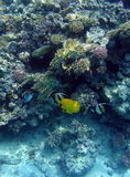 Fish and coral reef. A view of colorful fish and delicate coral reef in the Egyptian Red Sea Royalty Free Stock Photography