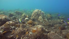 Coral reef and tropical fish. Bali,Indonesia. Fish and coral reef. Dive, underwater world, corals and tropical fish. Bali,Indonesia. Diving and snorkeling in stock footage
