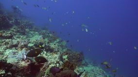 Coral reef and tropical fish. Bali,Indonesia. Fish and coral reef. Dive, underwater world, corals and tropical fish. Bali,Indonesia. Diving and snorkeling in stock video