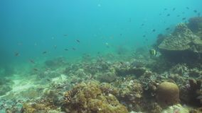 Coral reef and tropical fish. Philippines, Mindoro. stock video