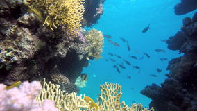 Fish of the coral reef. Coral reef. Exotic fishes. The beauty of the underwater world. Life in the ocean. Diving on a tropical reef. Submarine life. Clear water stock video