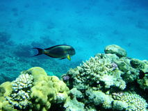 Fish and coral reef in Red sea royalty free stock image