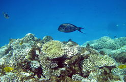 Fish and coral reef in Red sea Royalty Free Stock Photos