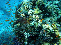 Fish and coral reef in Red sea stock image