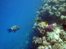 Fish and coral reef in Red sea Royalty Free Stock Photography