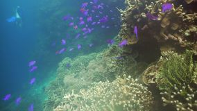 Coral reef and tropical fish.Philippines. Fish and coral reef. Tropical fish on a coral reef. Wonderful and beautiful underwater world with corals and tropical stock video footage