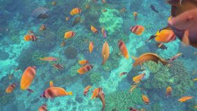 Coral reef and tropical fish. Bali,Indonesia. Fish and coral reef. Wonderful and beautiful underwater world with corals and tropical fish. Hard and soft corals stock footage