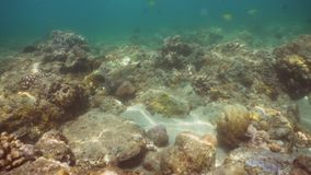 Coral reef and tropical fish. Bali,Indonesia. Fish and coral reef. Wonderful and beautiful underwater world with corals and tropical fish. Hard and soft corals stock video footage