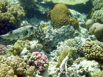 Fish and coral reefs Royalty Free Stock Image