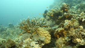 Fish and coral reefs underwater. A wide shot of the sea that pans to the right to show a coral reef with fishes then pans to the left stock video footage