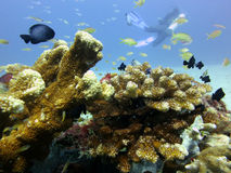 Fish Coral and Scubadiver Royalty Free Stock Image