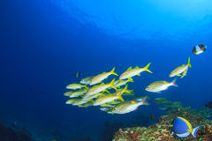 Fish and Coral Royalty Free Stock Images