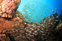Fish and Coral Royalty Free Stock Photo