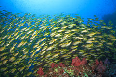 Fish and Coral Royalty Free Stock Image