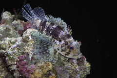 Fish on the coral. Hawaiian lionfish. Tropical fish rests on the coral Stock Photos