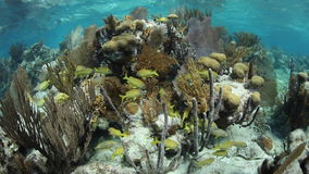 Fish and Corals in Caribbean stock video