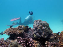 Fish and corals and diver under water in the Philippines. Diver under water. Beautiful coral reef with fish. In the background a diver Stock Photo