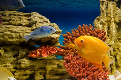 Fish among corals. Photo of exotic fish in home aquarium Stock Photography
