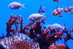Fish in the corals Stock Image