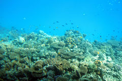 Fish among corals in Red Sea Royalty Free Stock Photos