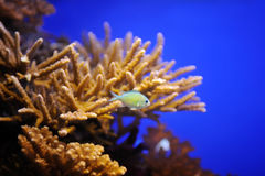 Fish and corals of the Red Sea Royalty Free Stock Image