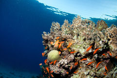 Fish and corals in the sea Stock Photography