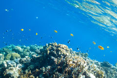 Fish and corals in the sea Royalty Free Stock Image