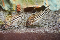Fish. Corydoras julii Stock Image