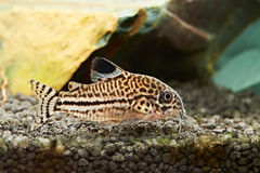 Fish. Corydoras julii Royalty Free Stock Images