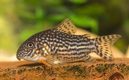 Fish Corydoras sterbai Stock Images