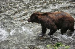 Fish Creek Wildlife Observation site in Hyder, Alaska. Grizzly Bear feeding on salmon at the Fish Creek Wildlife Observation site in Hyder, Alaska royalty free stock photos