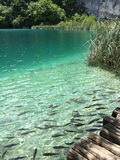 Fish in Croatia plitvice lakes national park Royalty Free Stock Photography