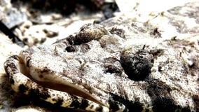 Fish crocodile on sandy bottom of a tropical reef. Fish crocodile on the sandy bottom of a tropical Coral Reef. Amazing, beautiful underwater marine sea world stock video footage