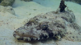 Fish crocodile on sandy bottom of a tropical reef. stock video footage