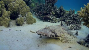 Fish crocodile on sandy bottom of a tropical reef. stock video
