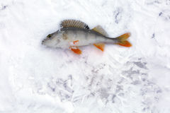 The caught fish on snow-covered ice Royalty Free Stock Photo