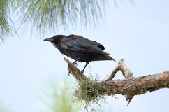 Fish Crow (Corvus ossifragus) Royalty Free Stock Photos