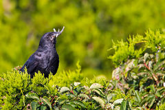 Fish Crow with Fish Royalty Free Stock Photo