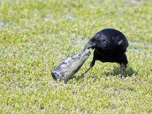 Fish Crow Stock Images