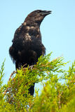 Fish Crow Stock Photos