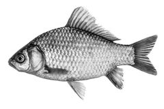 Fish crucian carp, isolated black and white, side view. Royalty Free Stock Photography