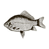 Fish crucian carp, isolated black and white, side view. Royalty Free Stock Images