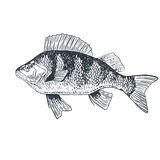 Fish crucian carp, isolated black and white, side view. Stock Images