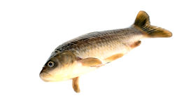 Fish Crucian Stock Images