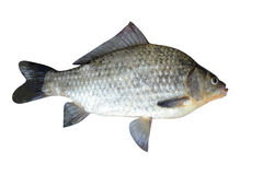 Fish a crucian it is isolated. On a white background royalty free stock photo