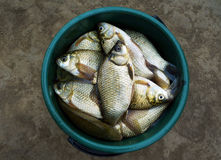 Fish crucian (river carp) Stock Photo